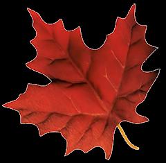 image of maple leaf